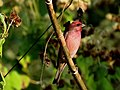 Common Rosefinch IMG 6285.jpg