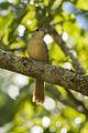 Common Thornbird - REGUA - Brazil S4E1321 (12931518564).jpg