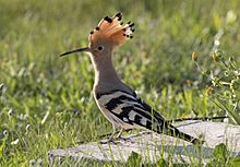 Common hoopoe - Upupa epops 06.jpg