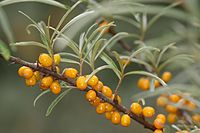 Common sea-buckthorn - Sanddorn (9049824936).jpg