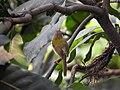 Common tailorbird 01.jpg