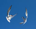 Common tern dance (9202154742).jpg