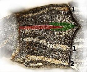 Coniocleonus nigrosuturatus pronotum.jpg