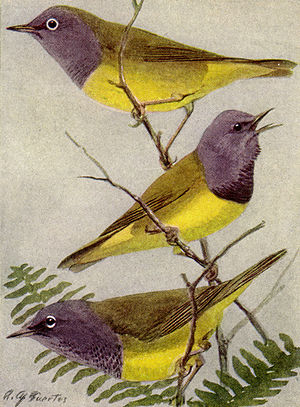 Connecticut-Mourning-Macgillivray Warblers NGM-v31-p320-A.jpg