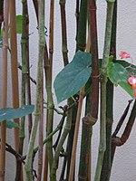Conservatoire du bégonia 2015. Begonia corallina 03.JPG