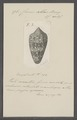 Conus abbas - - Print - Iconographia Zoologica - Special Collections University of Amsterdam - UBAINV0274 085 10 0107.tif