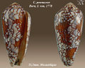 Conus pennaceus 4.jpg