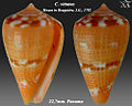 Conus vittatus 2.jpg