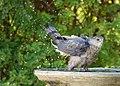 Cooper's Hawk (36268809705).jpg