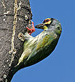 Coppersmith Barbet (Megalaima haemacephala) in Hyderabad, AP W IMG 9678.jpg
