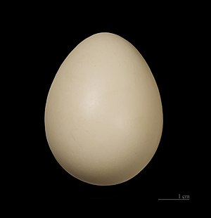 Grey junglefowl - Egg