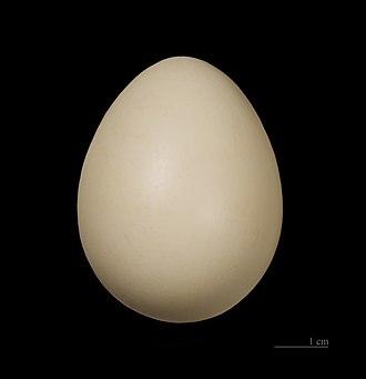 Grey junglefowl - Egg