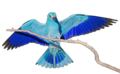 Coracias-garrulus-162.png