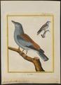 Coracias garrula - 1700-1880 - Print - Iconographia Zoologica - Special Collections University of Amsterdam - UBA01 IZ16700221.tif