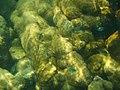 Coral em Ubatubinha - panoramio.jpg