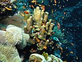 Coral scene with goldies (6166401126).jpg