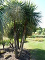 Cordyline australis 'Cabbage tree' (Agavaceae) plant.JPG