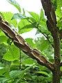 Corky-winged bark of Ulmus minor cultivar 'D. de la Villa'.jpg