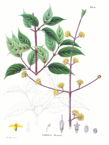 Cornus officinalis SZ50.png
