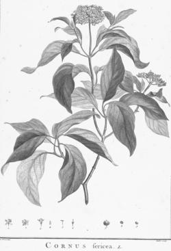 Seidiger Hartriegel cornus sericea wikispecies