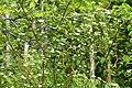 Cornus sericea sericea UL 06.jpg