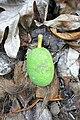 Corossol sur l'île de Rolas (São Tomé).jpg