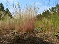 Corynephorus canescens Kiev1.jpg