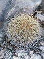 Coryphantha retusa (5739317510).jpg