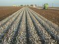 Cotton field kv42.jpg