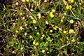Cotula coronopifolia in Auckland Botanic Gardens.jpg