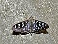 Crambid Moth (Pygospila tyres) (7858175232).jpg