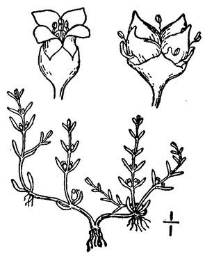 Crassula aquatica.tif