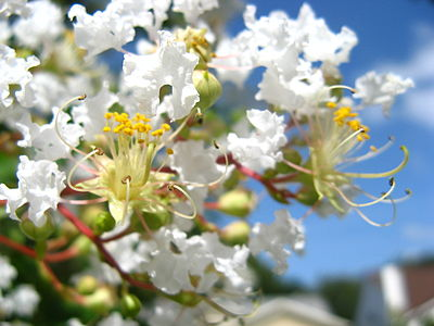 Closeup of white crepe myrtle flowers