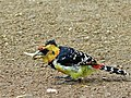 Crested Barbet (Trachyphonus vaillantii) (6040594107).jpg