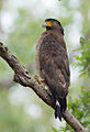 Crested Serpant Eagle (Spilornis cheela) in Jim Corbett National Park, Uttarakhand, India.jpg