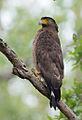 Crested Serpant Eagle (Spilornis cheela) in Jim Corbett National Park, Uttarakhand, India.jpg