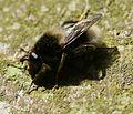 Criorhina ranunculi (male) - Flickr - S. Rae (3).jpg