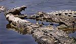 Croc conclave.jpg