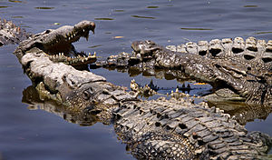 English: American crocodiles taking the sun at...