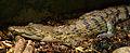 Crocodylus mindorensis juvenile Köln Zoo 31122014 1.jpg