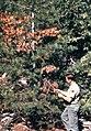 Cronartium ribicola Pinus lambertiana (03).jpg