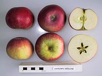 Cross section of Ashdown Seedling, National Fruit Collection (acc. 1966-079).jpg