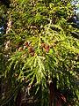 Cryptomeria japonica BOGA Zapfen 2.jpg
