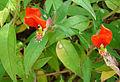 Cuphea nelsonii, the Chiapis Shade Cuphea. (9544174782).jpg