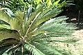Cycas revoluta 28zz.jpg