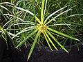 Cyperus alternifolius Cibora zmienna 2018-04-15 02.jpg