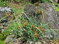 Cyperus javanicus (5187400115).jpg
