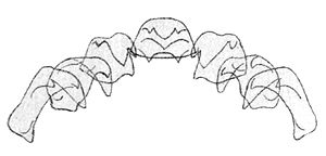 Cypraea tigris - Drawing of the radula teeth of Cypraea tigris.