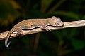 Cyrtodactylus interdigitalis.jpg