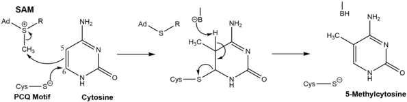 DNMT reaction mechanism